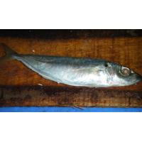 Sea-star Aquatic Food co.,ltd-horse mackerel 6-8 pcs per kilo