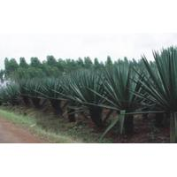 Sisal Products (SP)