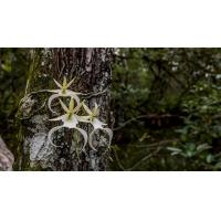 China University of Florida scientists work to preserve the endangered Ghost Orchid wholesale
