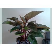 China Philodendron Imperial Red wholesale