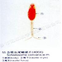 Buy cheap Education Medical Science Subject And Various Medical Parasite Microscope Slide from wholesalers